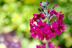 Prímula cor-de-rosa brilhante Fotografia de Stock Royalty Free