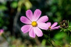 Prímula cor-de-rosa macia da flor Fotografia de Stock Royalty Free