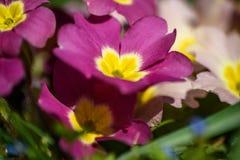 Prímula de florescência na mola Imagens de Stock Royalty Free