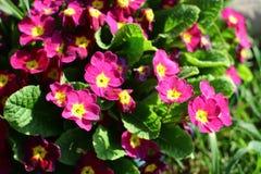 Prímula de florescência no jardim da mola foto de stock royalty free
