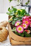 Prímula de la flor de la primavera en cesta de mimbre Imagen de archivo