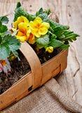 Prímula de la flor de la primavera en cesta de mimbre fotos de archivo