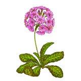 Prímula de la primavera de la primavera de la flor Foto de archivo
