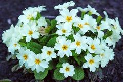 Prímula de las flores blancas vulgaris Fotografía de archivo