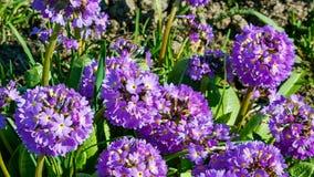 Prímula denticulada, o primavera del palillo, una planta floreciente púrpura hermosa que crece en regiones alpinas húmedas metrajes