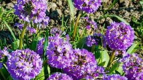Prímula denticulada, o primavera del palillo, una planta floreciente púrpura hermosa que crece en regiones alpinas húmedas almacen de metraje de vídeo