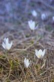 Prímula do açafrão Primeiras flores da mola Almaty, Cazaquistão Fotos de Stock