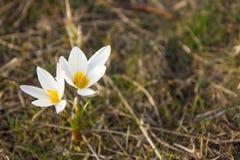 Prímula do açafrão Primeiras flores da mola Almaty, Cazaquistão Imagens de Stock