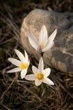 Prímula do açafrão Primeiras flores da mola Almaty, Cazaquistão Foto de Stock