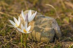 Prímula do açafrão Primeiras flores da mola Almaty, Cazaquistão Foto de Stock Royalty Free