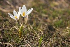 Prímula do açafrão Primeiras flores da mola Almaty, Cazaquistão Fotografia de Stock