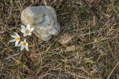 Prímula do açafrão Primeiras flores da mola Almaty, Cazaquistão Fotografia de Stock Royalty Free