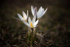 Prímula do açafrão Primeiras flores da mola Almaty, Cazaquistão Imagens de Stock Royalty Free