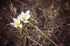 Prímula do açafrão Primeiras flores da mola Almaty, Cazaquistão Imagem de Stock