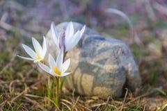 Prímula do açafrão Primeiras flores da mola Almaty, Cazaquistão Fotos de Stock Royalty Free