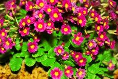 Prímula Julia Polyanthus Primavera de la flor El rosa florece la primavera Prímula o pruhoniciana púrpura con la médula amarilla foto de archivo