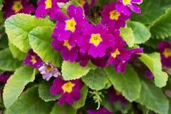 Prímula Obconica, flores del jardín de la primavera Flor Imagenes de archivo