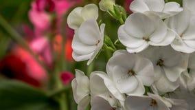 A prímula ou a prímula ou o primavera-dos-jardins constante branco bonito da prímula florescem na primavera fotos de stock royalty free