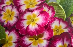 Prímula ou prímula vulgar com cores agradáveis Fotografia de Stock