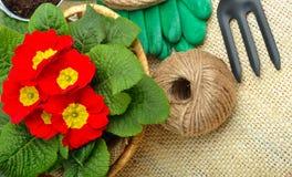 Prímula vermelha bonita no vaso de flores e nas ferramentas de jardinagem Fotografia de Stock