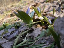 Prímulas azuis na floresta na mola adiantada fotografia de stock