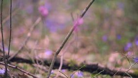 Prímulas da mola na floresta video estoque