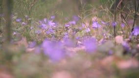 Prímulas da mola na floresta vídeos de arquivo