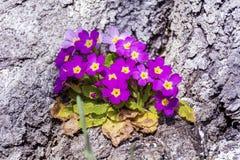 Prímulas de florescência da mola bonita em uma casca de uma árvore Imagem de Stock