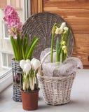 Prímulas de florescência na janela Foto de Stock