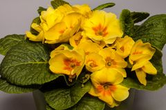Prímulas em pasta de florescência Fotografia de Stock Royalty Free