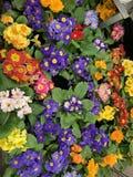 Prímulas em um florista imagem de stock