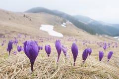 Prímulas em um prado da montanha Fotografia de Stock