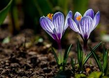 Prímulas que florescem o açafrão Uma muito das primeiras flores a saltar Os raios mornos da mola, das flores e dos açafrões Foto de Stock Royalty Free