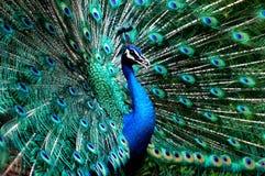 Príncipe del pavo real Imagenes de archivo
