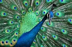 Príncipe del pavo real Fotografía de archivo libre de regalías