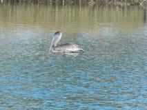Príncipe do pelicano do parque da paz foto de stock