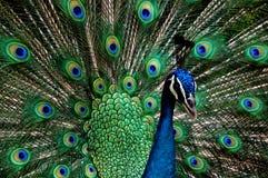 Príncipe Peacock Imágenes de archivo libres de regalías