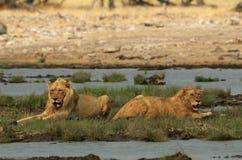 Príncipes del león Imagen de archivo libre de regalías
