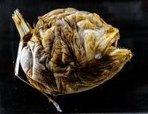 Próbka Bufoceratias Wedli dalekomorska ryba w zoologicznym exh zdjęcia stock