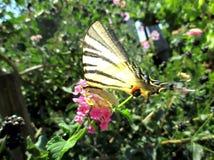 Próbka motyli Rzadki Swallowtail Zdjęcia Royalty Free