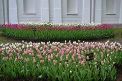 Próbki tulipany na Elagin wyspie Zdjęcie Stock