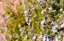 próximo acima de uma abelha em uma flor roxa do ramo verde dos alecrins que poliniza a planta e que toma o pólen em um dia de mol fotografia de stock royalty free