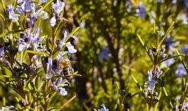 próximo acima de uma abelha em uma flor roxa do ramo verde dos alecrins que poliniza a planta e que toma o pólen em um dia de mol fotos de stock
