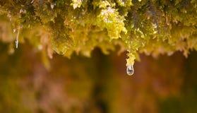 próximo acima de uma gota da água do gotejamento de cristal da água do musgo verde molhado e quase da queda ao assoalho em um dia fotografia de stock