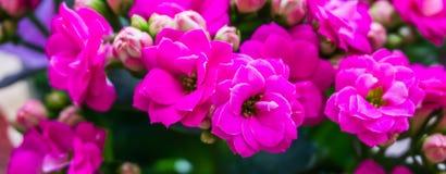 Próximo botânico de florescência roxo das flores do kalanchoe pequeno e minúsculo acima do macro imagens de stock royalty free