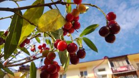Prúnus laurocérasus evergreen shrub. Prúnus laurocérasus, evergreen shrub, red berries, green leaves, blue sky, clouds, sun royalty free stock photo