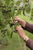 Prüfung des Apfelbaums auf Blattläuse Lizenzfreie Stockfotografie