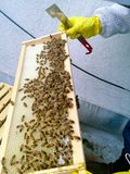 Prüfung des Bienenstocks auf Honig lizenzfreie stockbilder