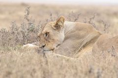 Prüfung des Löwes in Tansania, Serengeti Stockfoto