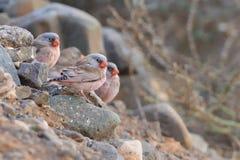 Prügeln Sie von den Wüstengimpeln - Bucanetes-githagineus Stockfotografie